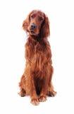 Perro en blanco Fotografía de archivo libre de regalías