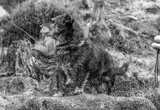 perro en blanco y negro Foto de archivo