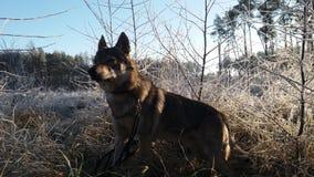 Perro en bosque congelado fotos de archivo