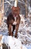 Perro en bosque del invierno Imagen de archivo
