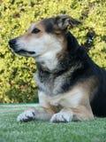 Perro en césped Foto de archivo libre de regalías