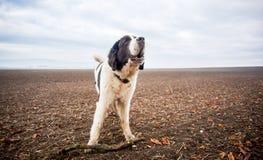 Perro en campo Foto de archivo libre de regalías