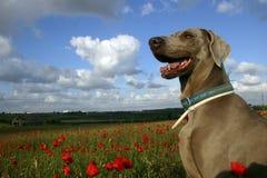Perro en campo de la amapola Foto de archivo libre de regalías