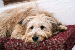 Perro en casa Fotografía de archivo