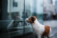 Perro en ciudad en la lluvia Jack Russell Terrier en Europa fotos de archivo