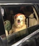 Perro en coche imagenes de archivo