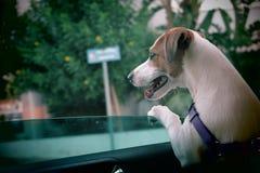 Perro en coche Imagen de archivo