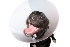 Perro en collar elizabethian Imagen de archivo