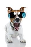 Perro en cortinas Fotografía de archivo