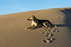Perro en desierto Fotografía de archivo
