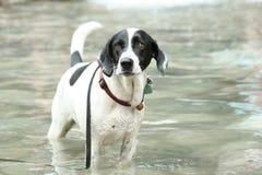 Perro en el agua fotos de archivo