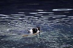 Perro en el agua imágenes de archivo libres de regalías