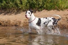 Perro en el agua Imagen de archivo