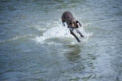Perro en el agua Foto de archivo
