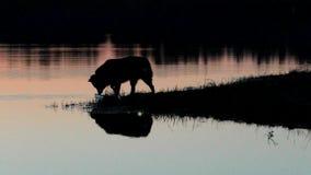 Perro en el agua en la puesta del sol almacen de metraje de vídeo