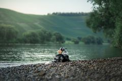 Perro en el agua Verano con un animal doméstico Pastor australiano en el río fotos de archivo libres de regalías