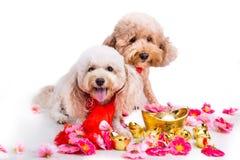 Perro en el ajuste festivo chino del Año Nuevo en el fondo blanco Imágenes de archivo libres de regalías