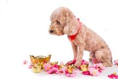 Perro en el ajuste festivo chino del Año Nuevo en el fondo blanco Fotografía de archivo libre de regalías