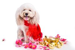 Perro en el ajuste festivo chino del Año Nuevo en el fondo blanco Foto de archivo