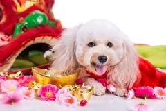 Perro en el ajuste festivo chino del Año Nuevo en el fondo blanco Fotografía de archivo