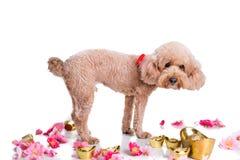 Perro en el ajuste festivo chino del Año Nuevo en el fondo blanco Foto de archivo libre de regalías
