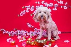 Perro en el ajuste festivo chino del Año Nuevo en fondo rojo Fotos de archivo