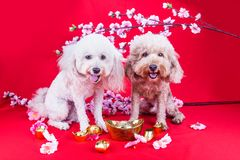 Perro en el ajuste festivo chino del Año Nuevo en fondo rojo Fotografía de archivo libre de regalías