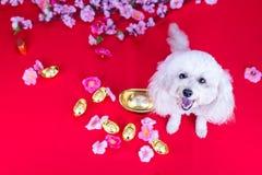 Perro en el ajuste festivo chino del Año Nuevo en fondo rojo Foto de archivo