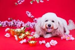 Perro en el ajuste festivo chino del Año Nuevo en fondo rojo Foto de archivo libre de regalías