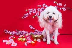 Perro en el ajuste festivo chino del Año Nuevo en fondo rojo Imagen de archivo