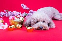 Perro en el ajuste festivo chino del Año Nuevo en fondo rojo Fotografía de archivo