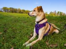 Perro en el arnés púrpura que pone en césped de la hierba verde fotografía de archivo