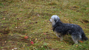 Perro en el bosque del otoño Foto de archivo libre de regalías