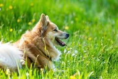 Perro en el campo Imagen de archivo libre de regalías