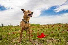 Perro en el campo de la primavera Imagen de archivo