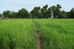Perro en el campo del arroz, Myanmar Imagen de archivo libre de regalías