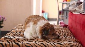 Perro en el deber almacen de metraje de vídeo