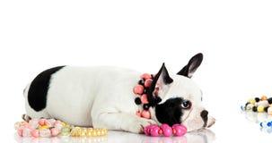 Perro en el fondo blanco Fotografía de archivo libre de regalías