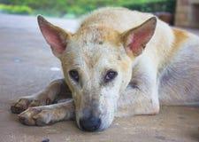 Perro en el fondo de Tailandia Foto de archivo