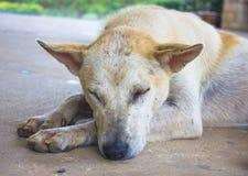 Perro en el fondo de Tailandia Imagen de archivo libre de regalías