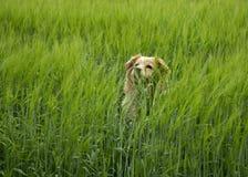 Perro en el maíz Foto de archivo