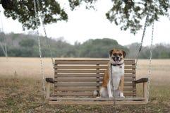 Perro en el oscilación Imágenes de archivo libres de regalías
