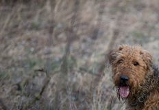 Perro en el parque, terrier del airedale en Polonia fotos de archivo