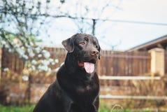 Perro en el patio trasero, Labrador, animales domésticos, animales Imagen de archivo libre de regalías