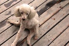 Perro en el piso Imagen de archivo libre de regalías