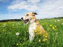 Perro en el prado del diente de león, (49) Foto de archivo
