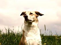 Perro en el prado del diente de león, retrato Fotografía de archivo libre de regalías