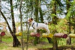 Perro en el puente de cuerda para las actividades de entrenamiento de la formación de equipo Fotos de archivo libres de regalías