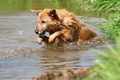 Perro en el río Imagen de archivo libre de regalías