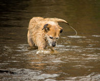 Perro en el río fotografía de archivo libre de regalías